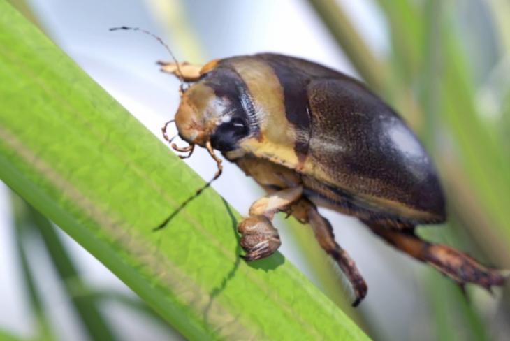 Erkek dalış böceği